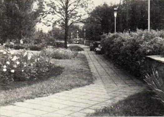 Кустовые и плетистые розы вдоль пешеходной аллеи Студенческого бульвара